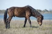 Pônei selvagem de assateague cavalo — Fotografia Stock