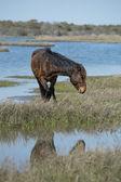 Assateague horse wild pony — Stockfoto