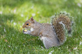 A squirrel looking at you while holding a nut — Foto Stock