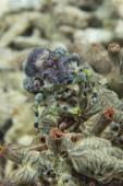 Anemone crab in Philippines — Stock Photo