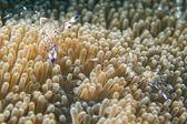 Garnelen in anemone — Stockfoto