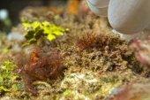 Red orang utan crab on hard coral macro  — Stock Photo