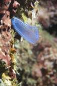 Light blue sea squirt — Stock Photo