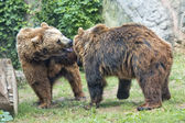 Two brown grizzly bears while fighting — Foto de Stock