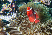 Red Clown fish in anemone Raja Ampat Papua — Stock Photo