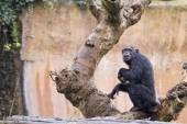 Ape chimpanzee monkey — Stock Photo