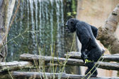 Ape chimpanzee monkey — ストック写真