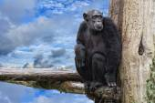 Ape chimpanzee monkey on deep blue sky background — Stock Photo