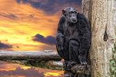 Ape chimpanzee monkey on sunset background — Stock Photo