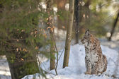 Lynx on the snow background — Foto Stock