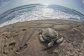 Green Turtle on sandy beach in Hawaii — ストック写真