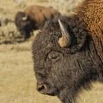 Buffalo Bison in Lamar Valley Yellowstone — Stock Photo #54030415
