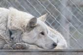 Granja de trineos tirados por perros de svalbard — Foto de Stock