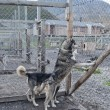 Svalbard sled dog farm — Stock Photo #54764613