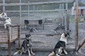 Ferme de chiens de traîneau de svalbard — Photo