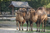 Brown camel trio portrait — Stock Photo