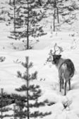 Reindeer portrait in winter snow time in black and white — Stock Photo
