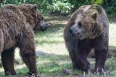 Deux noirs grizzlis lors de son combat — Photo