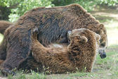 Dos negras osos luchando al mismo tiempo — Foto de Stock