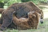 Due neri orsi grizzly mentre combatteva — Foto Stock