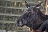 Female moose resting — Stock Photo