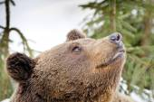 Bear brown grizzly portrait in the snow  — Stock Photo