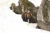 Isolated black bear brown grizzly walking on the snow  — Stock Photo