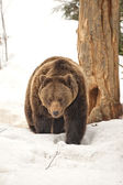 Isolated black bear brown grizzly walking on the snow  — Foto de Stock