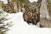 Bear brown grizzly family portrait in the snow  — Stock Photo