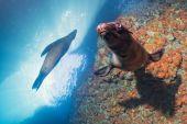 Cachorro leão marinho subaquático olhando pra você — Foto Stock