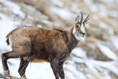 Chamois deer in the snow background — Stok fotoğraf