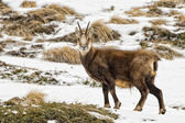 Chamois deer in the snow background — Stock fotografie