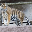 Siberian tiger ready to attack looking at you — Stock Photo #58337743