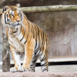 Siberian tiger ready to attack looking at you — Stock Photo #58337751