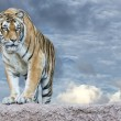 Siberian tiger ready to attack looking at you — Stock Photo #58337755