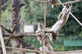 Japanese macaque monkey portrait — Photo
