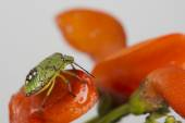 Green beatle insect — Stock Photo