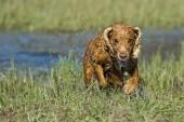 Happy Dog English cocker spaniel while running to you — Zdjęcie stockowe