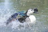 Wild Duck while splashing on water — Stock Photo