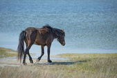 Assateague horse baby young puppy wild pony — Stock Photo