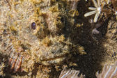 Scorpion Fish portrait — Stock Photo