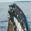Humpback whale head coming up — Stockfoto #60322767