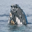 Humpback whale head coming up — Zdjęcie stockowe #60323023