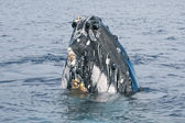 Humpback whale head coming up — Stock Photo