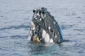 Buckelwal Kopf kommen — Stockfoto