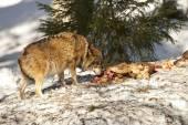 Волк ест в снегу — Стоковое фото