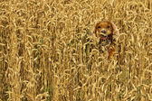 Dog running in the weath field — Stock Photo
