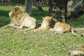 Male and female lion while relaxing — Stock Photo