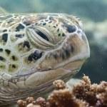 Caretta turtle close up portrait — Stock Photo #62844021