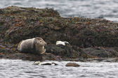 Grey seal portrait — Stock Photo